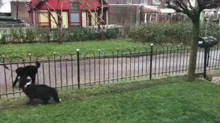 Piez grający z przechodniami w piłkę