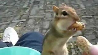 FUNNY Hungry Chipmunk