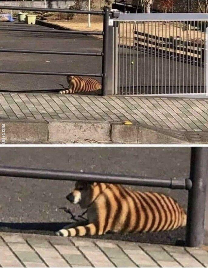 złudzenie : Tygrys!!!