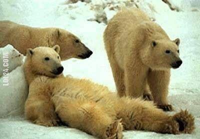 zwierzak : leniwy niedźwiedź
