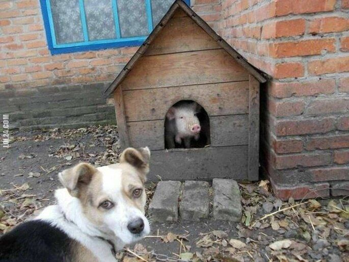 zwierzak : A to świnia!