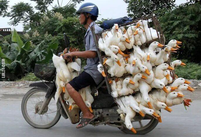 motoryzacja : Transport kaczek
