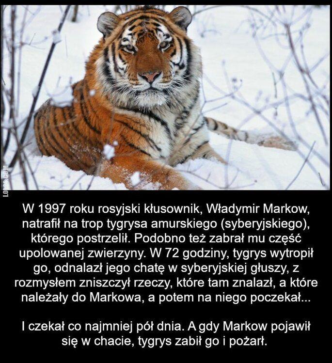 zwierzak : Tygrys – krótka historia o zemście.