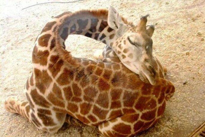 zwierzak : Śpiąca żyrafa