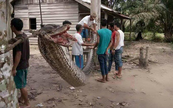 zwierzak : Indonezja: 7 metrowy pyton