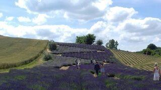 Moje podróże... lawendowe pola