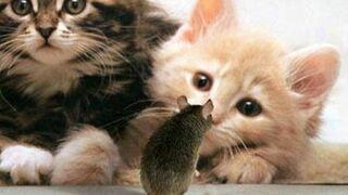 kotki i myszka