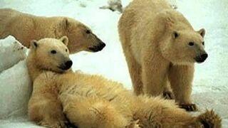 leniwy niedźwiedź