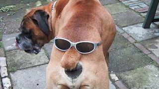Pies z okularami na tyłku