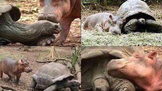 Przyjaźń hipopotama z żółwiem