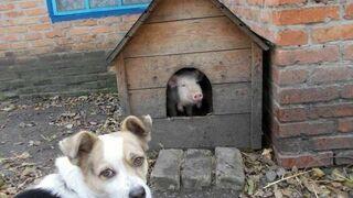 A to świnia!