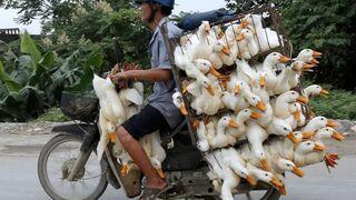 Transport kaczek