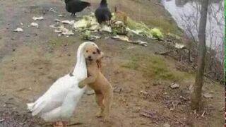 Jak pies z gęsią