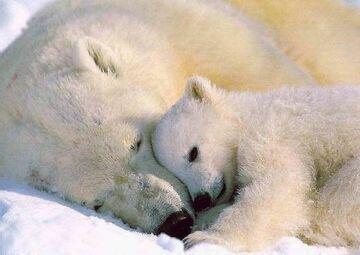 Niedźwiadki