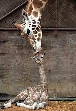 żyrafki