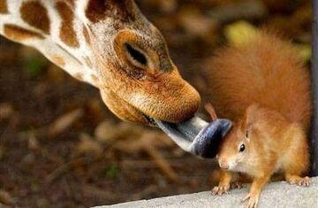 żyrafa & wiewiórka
