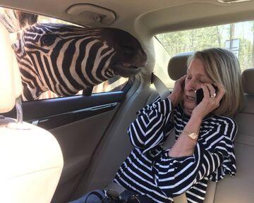 Zebra zebrę pozna
