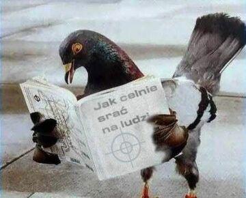 gołąb czyta poradnik