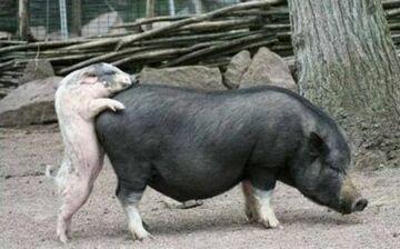 a to świnie