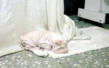 pomarszczony śpi