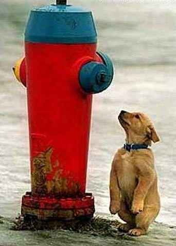 duży hydrant i piesek