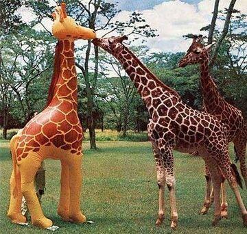 żyrafy