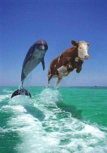 Delfin & Krowa