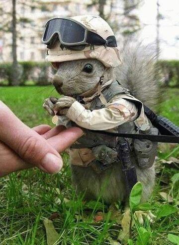 Wiewiórka żołnierz