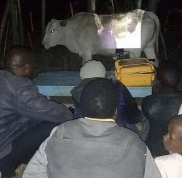 Kino na krowie