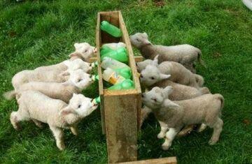 małe owieczki