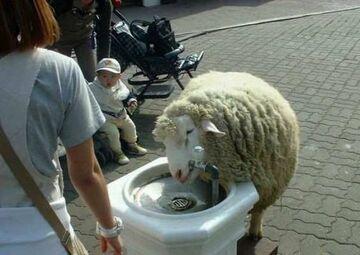 owca pije wode