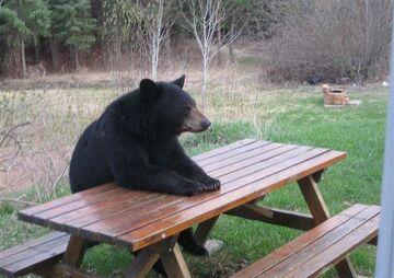Niedźwiedź przy stole