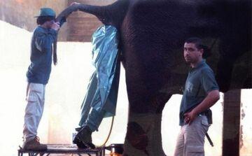 słoniowi w tyłek