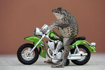 żaba na motocyklu