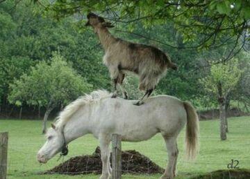 sprytna koza