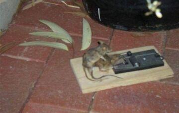 Pułapka na myszy, ironia losu