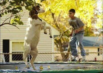 Koza na trampolinie