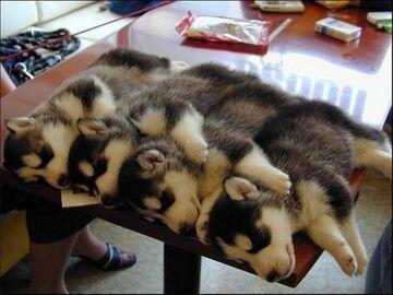 Szczeniaki śpią