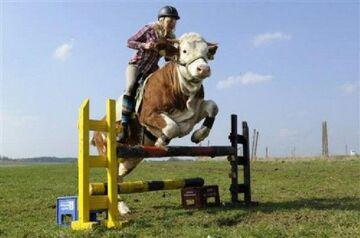 Super krowa!