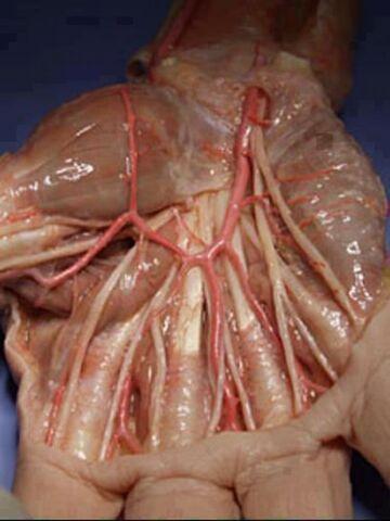 Dłoń bez skóry