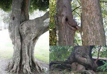 Seksualne drzewa
