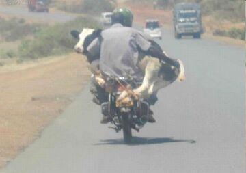 Gość wiezie krowę na motorze