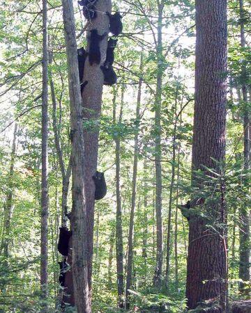 Na jedno drzewo weszło aż 11 misiów