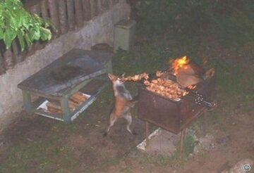 Lis na grillu