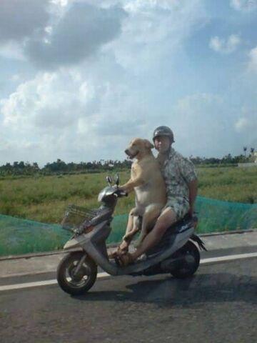 W drodze do pracy - pies na skuterze