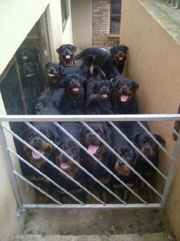 Nie przejdziesz - Rottweilery