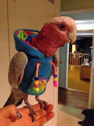 Papuga w bluzie z kapturem