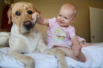 Labrador u małego dentysty