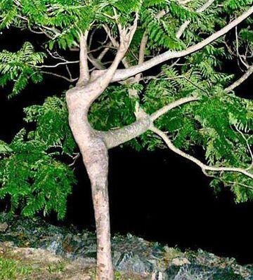 Drzewo z kobiecą sylwetką