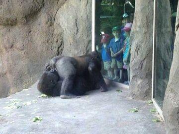 Goryle 69 w zoo